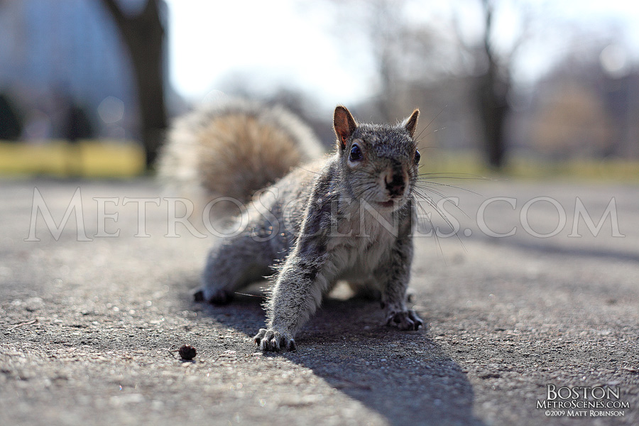 Friendly Boston Common Squirrel