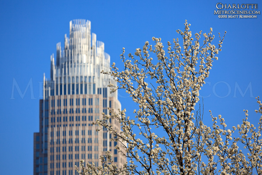 White bradford pear blooms with Bank of America building