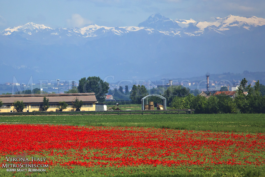 Fields of Poppies and Snow Capped Apennines