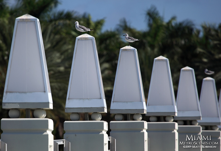 Gulls of South Beach