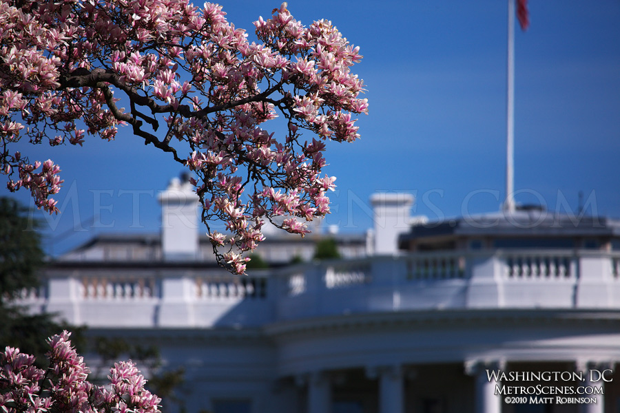 Magnolia tree blooming in front of the White House