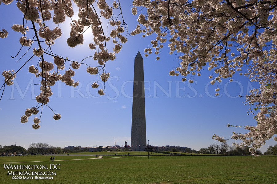 Cherry Blossoms bloom over the Washington Monument