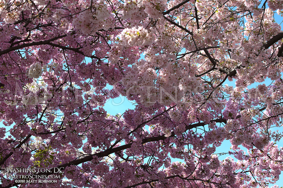 Pink Cherry Blossoms in Washington, DC