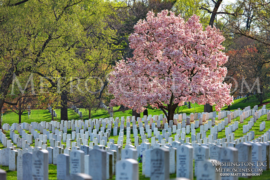 Magnolia at Arlington National Cemetery