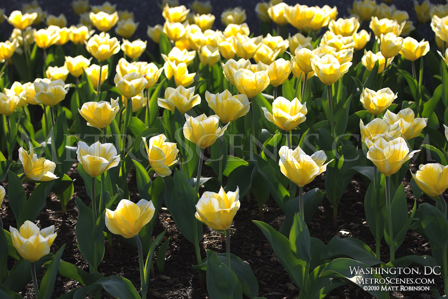 Yellow Tulips in Washington, DC